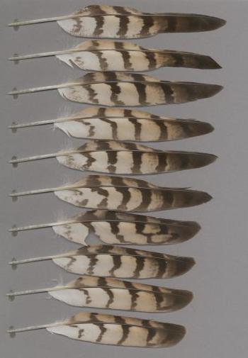 Bild von Federn der Art Accipiter melanoleucus (Mohrenhabicht)