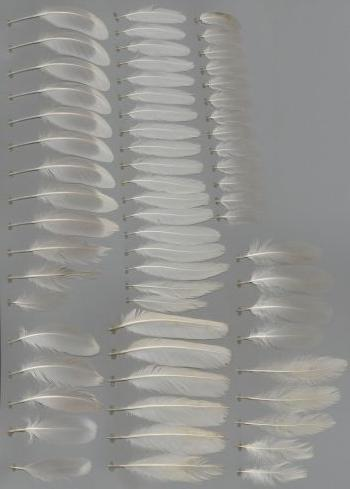Bild von Federn der Art Larus argentatus (Silbermöwe)