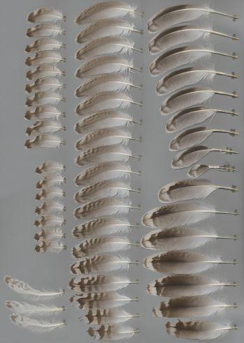 Bild von Federn der Art Larus marinus (Mantelmöwe)