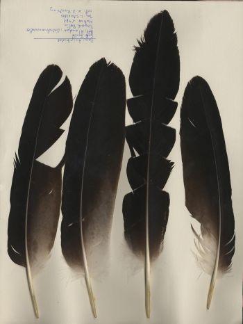 Bild von Federn der Art Aquila audax (Keilschwanzadler)
