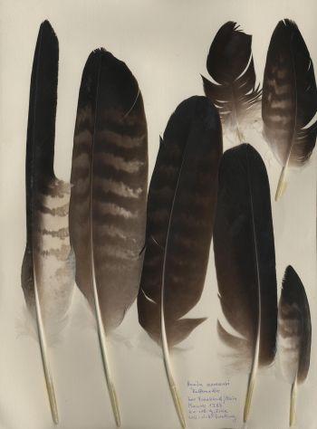 Exhibit of the species Aquila verreauxii