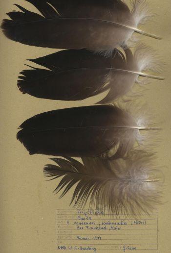Bild von Federn der Art Aquila verreauxii (Kaffernadler)