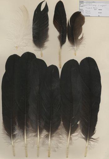 Bild von Federn der Art Ciconia maguari (Maguaristorch)