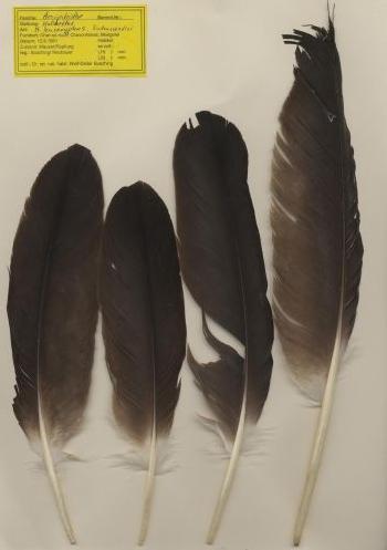 Bild von Federn der Art Haliaeetus leucoryphus (Bindenseeadler)