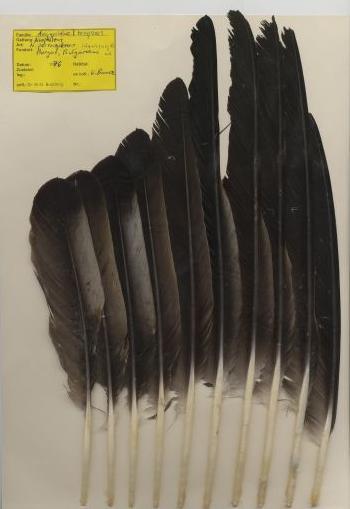 Bild von Federn der Art Neophron percnopterus (Schmutzgeier)