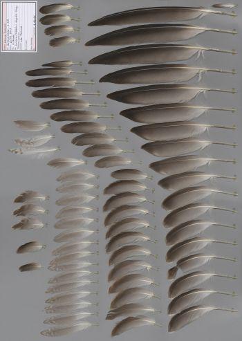 Exhibit of the species Larus fuscus