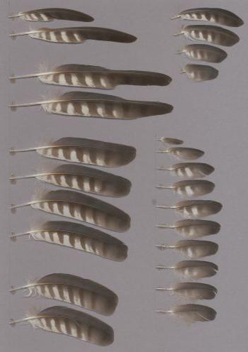 Exhibit of the species Accipiter badius