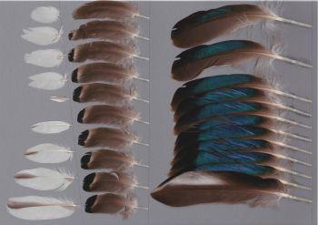 Bild von Federn der Art Anas zonorhyncha (China-Fleckschnabelente)