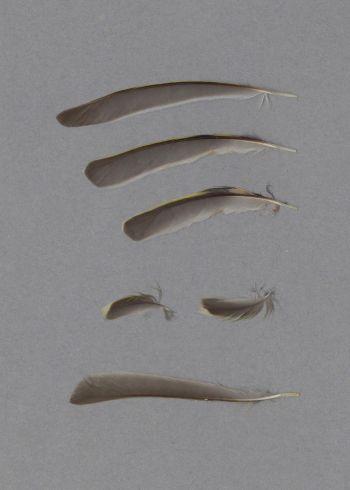 Exhibit of the species Regulus calendula
