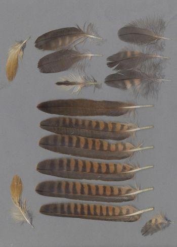 Bild von Federn der Art Falco subbuteo (Baumfalke)