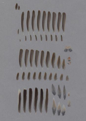 Bild von Federn der Art Sylvia cantillans (Weißbart-Grasmücke)