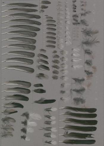 Bild von Federn der Art Pyrrhula pyrrhula (Gimpel)