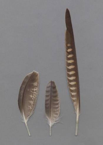 Bild von Federn der Art Falco peregrinus (Wanderfalke)