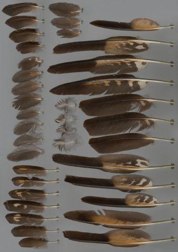 Bild von Federn der Art Phalcoboenus australis (Falklandkarakara)