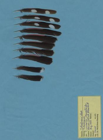 Exhibit of the species Tichodroma muraria