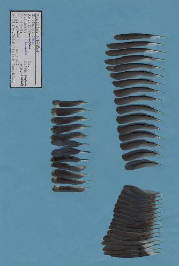 Exhibit of the species Sitta frontalis