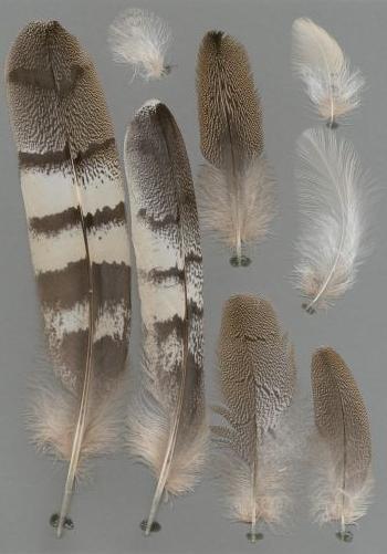 Exhibit of the species Ardeotis kori