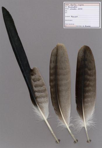 Exhibit of the species Aquila rapax