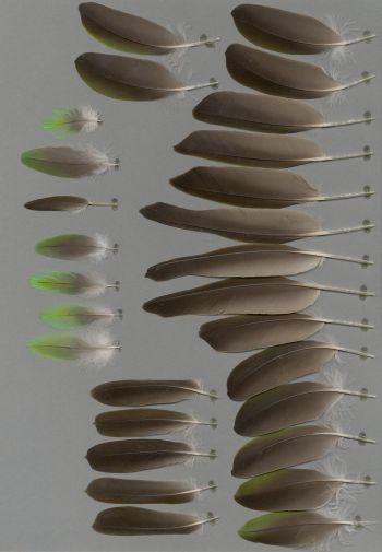 Exhibit of the species Poicephalus fuscicollis