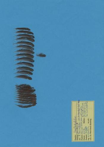 Bild von Federn der Art Henicorhina leucosticta (Waldzaunkönig)