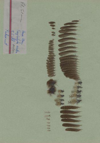 Bild von Federn der Art Troglodytes aedon (Hauszaunkönig)