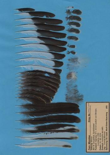 Bild von Federn der Art Mimus polyglottos (Spottdrossel)