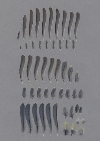 Bild von Federn der Art Cyanistes caeruleus (Blaumeise)