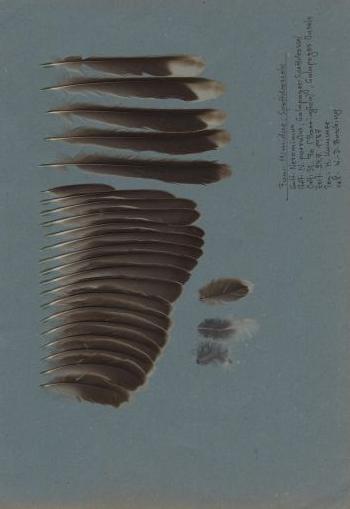 Bild von Federn der Art Mimus parvulus (Galapagosspottdrossel)