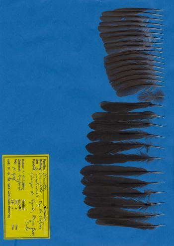 Bild von Federn der Art Dumetella carolinensis (Katzenvogel)