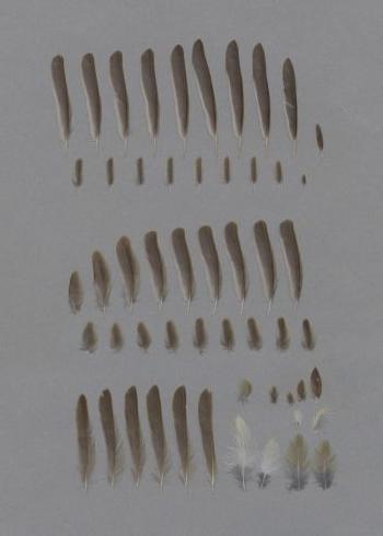 Exhibit of the species Phylloscopus trochilus