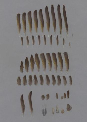 Exhibit of the species Loxia curvirostra