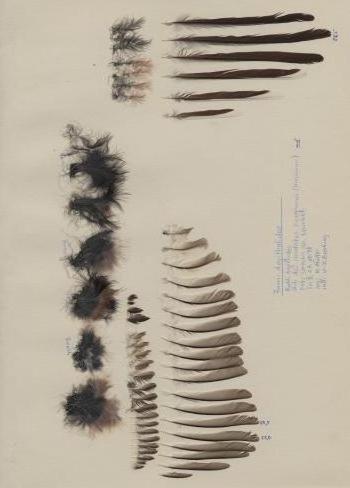 Exhibit of the species Aegithalos caudatus