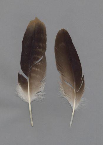 Exhibit of the species Aquila nipalensis