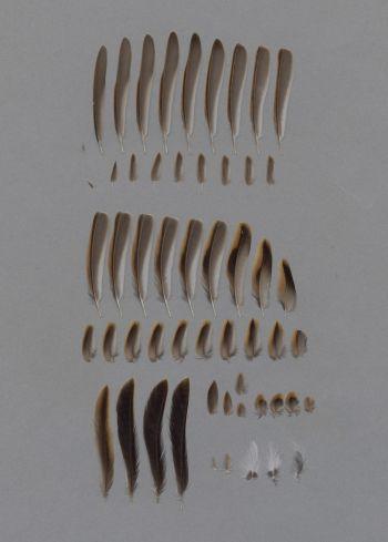 Exhibit of the species Schoeniclus schoeniclus