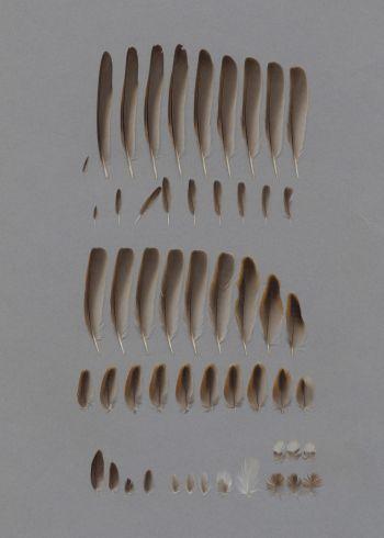 Bild von Federn der Art Passer domesticus (Haussperling)