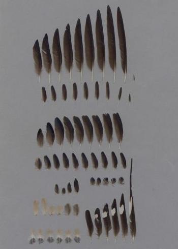 Bild von Federn der Art Hirundo rustica (Rauchschwalbe)