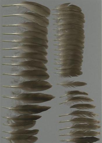 Bild von Federn der Art Melanitta americana (Pazifiktrauerente)