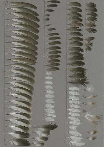 Exhibit of the species Tachybaptus ruficollis