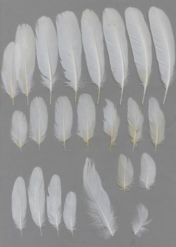 Bild von Federn der Art Egretta garzetta (Seidenreiher)