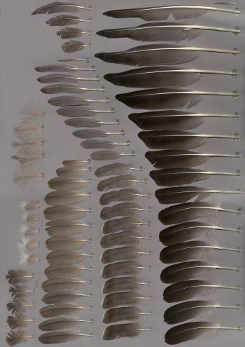 Exhibit of the species Anser albifrons