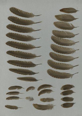 Bild von Federn der Art Scolopax mira (Amamischnepfe)