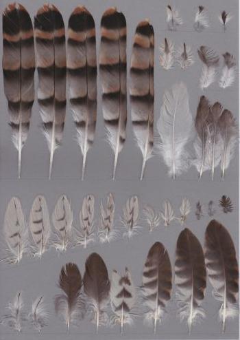 Bild von Federn der Art Hierococcyx hyperythrus (Fluchtkuckuck)