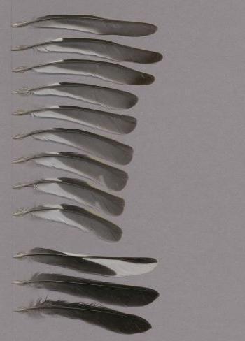 Federbeleg der Art Fringilla coelebs