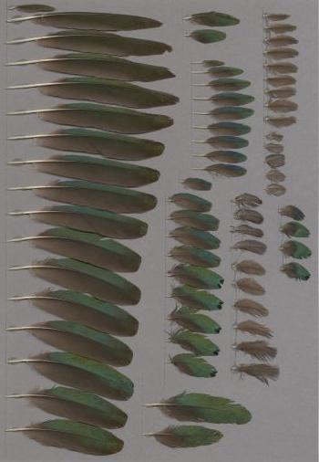 Federbeleg der Art Lamprotornis chalybaeus
