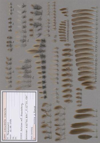 Federbeleg der Art Locustella naevia