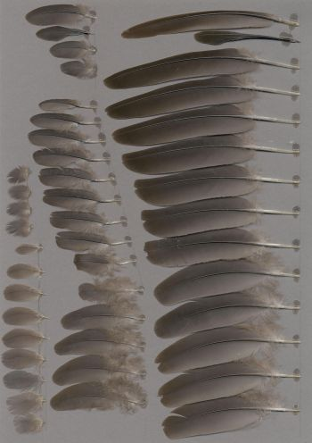Federbeleg der Art Zenaida graysoni