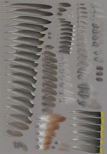 Federbeleg der Art Bombycilla garrulus