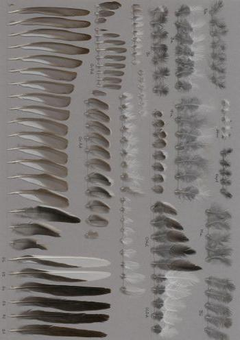 Federbeleg der Art Motacilla alba