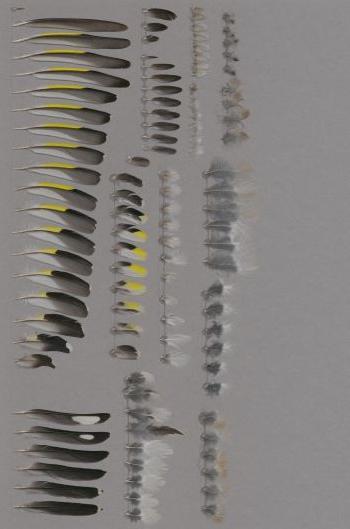 Exhibit of the species Carduelis carduelis