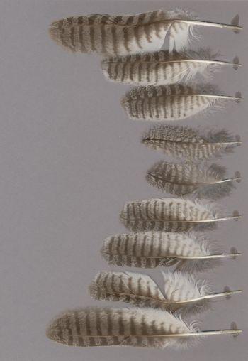 Federbeleg der Art Ptilopsis leucotis